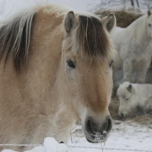 Hest_tilpass