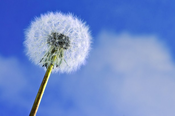Dandelion close up on blue sky background